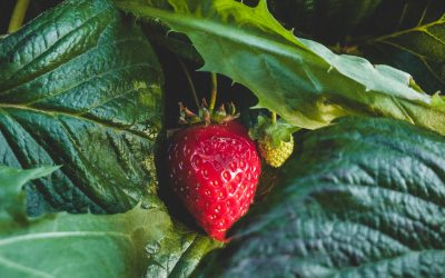 The Dirty Dozen and the Clean 15: Buying Organic Produce